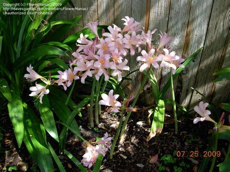plantfiles pictures lycoris species magic lily naked