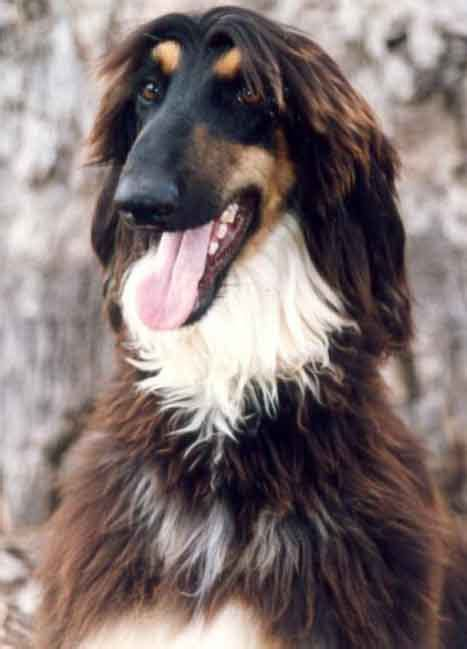 afghan hound puppies for sale just how many yellow eyebrow dogs are there anyways doberman forum doberman