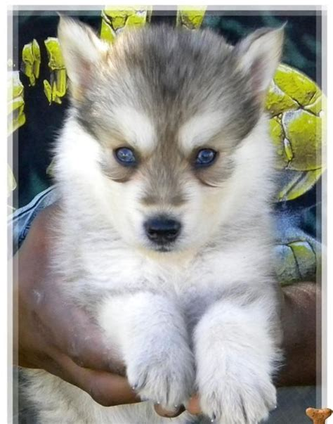 wolf husky puppies best 25 husky wolf mix ideas on wolf husky hybrid wolf puppy and