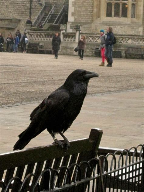 crow at tower of london schlagel vacation england