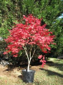 shearouse nursery japanese maples trees landscaping arborist lavonia toccoa hartwell georgia