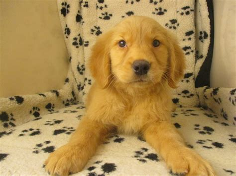 top golden retriever breeders in the us puppies for sale in new jersey at breeders club of america