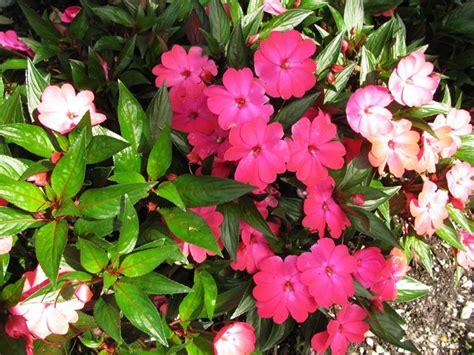 fiori di vetro coltivazione impatiens impatiens piante annuali balsamina