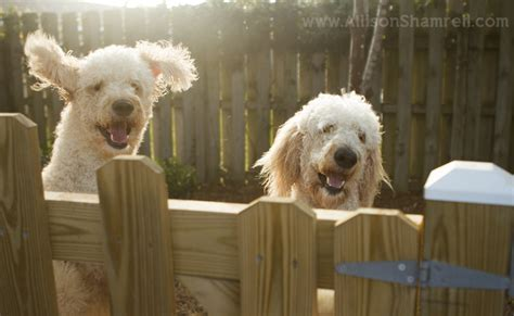 goldendoodle puppy jumping goldendoodle photography luke leo san diego pet