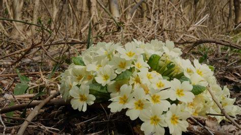 fiori bosco primavera nel bosco un tappeto a fiori