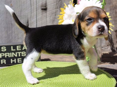 akc beagle puppies akc beagle breeders missouri breeds picture
