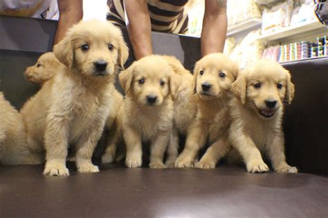 big golden retrievers golden retriever puppy sold 1 month big bone golden retriever from subang jaya
