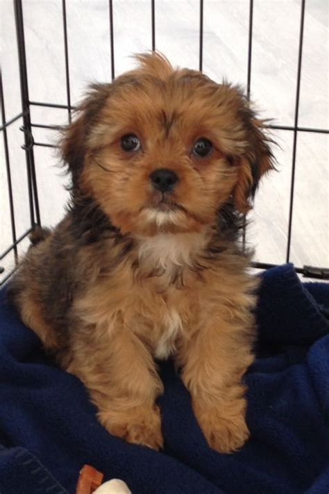 cava tzu puppies for sale cava tzu puppy for sale woodford green essex pets4homes