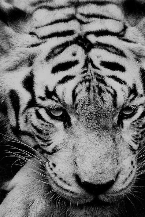wallpaper iphone tiger white siberian tiger iphone 4s wallpaper iphone 4 s