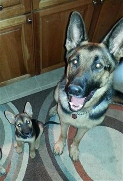 german shepherd rescue va eye on columbus ohio zoos and goats