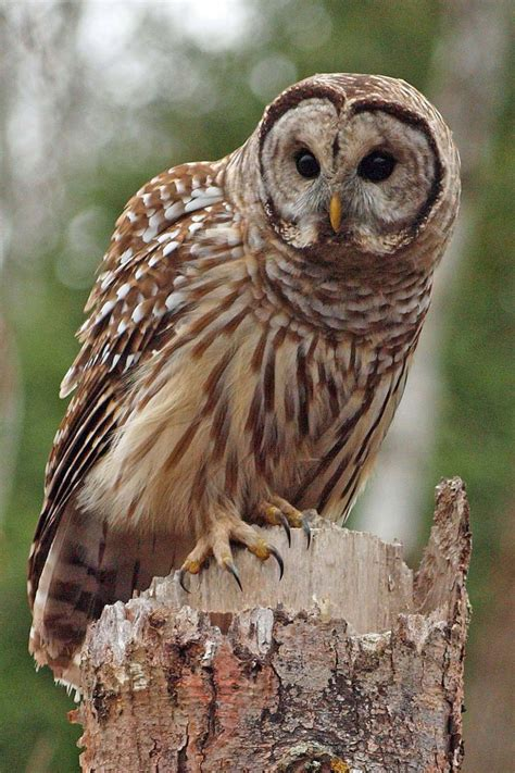 barred owl feederwatch