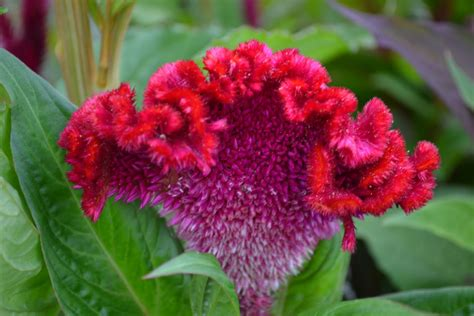 my country roads wild and wonderful celosia or