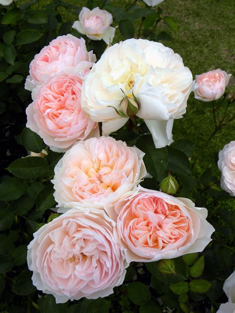 the english roses moments of delight anne reeves visiting england david austin english roses