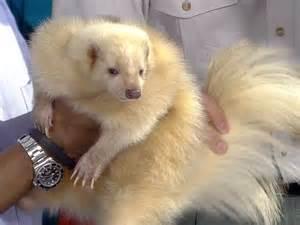 skunk colors pet skunk related keywords suggestions pet skunk