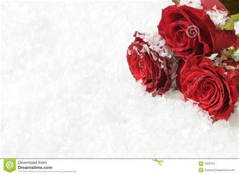 imagenes tres rosas tres rosas rojas en el fondo de la nieve imagenes de