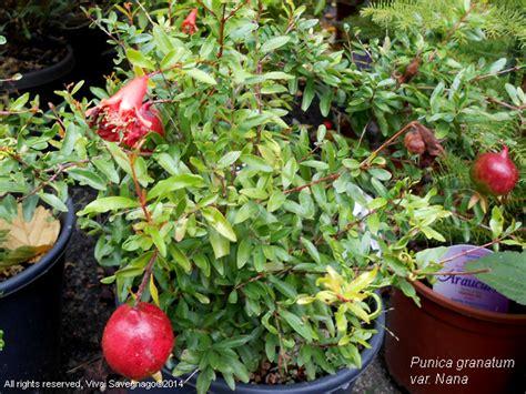 melograno nano in vaso punica granatum var nana il garden vivai savegnago