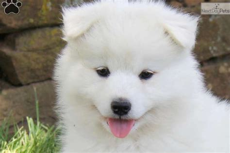 samoyed puppy price samoyed puppy for sale near lancaster pennsylvania 0730931c a5a1