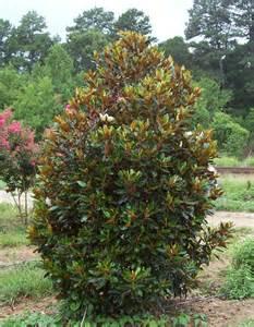magnolia grandiflora tree quotes