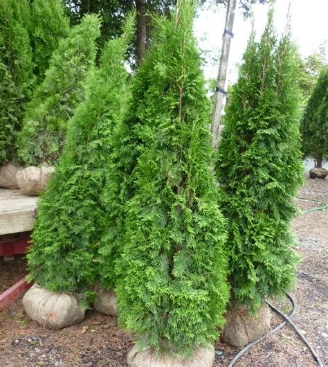 arborvitae emerald green home depot 1 2017 2018 best