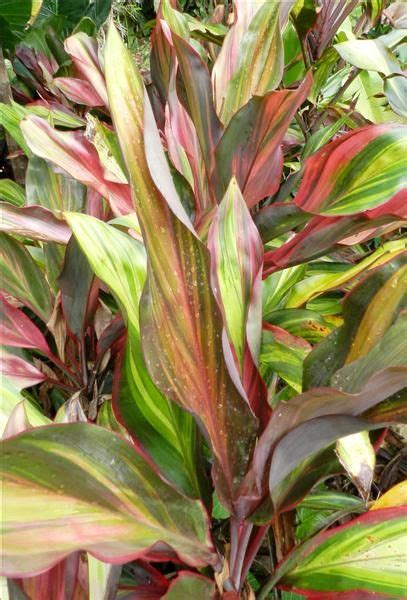 buy tropical plants 82 best images about plants on tropical
