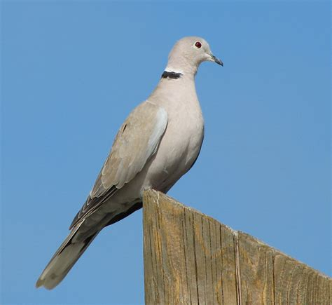 dove image eurasian collared dove streptopelia decaocto