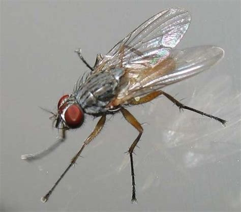 house flies lesser house fly fannia canicularis