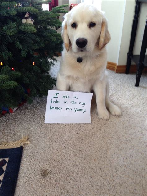 guilty golden retriever shaming golden retriever puppy roy things i retriever puppies