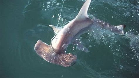 baby shark weight baby hammerhead shark weight blog dandk