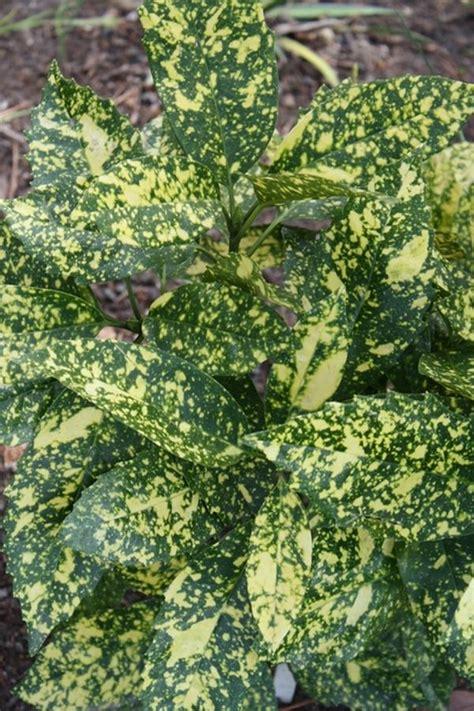 learn  aucuba japonica marmorata marmorata japanese