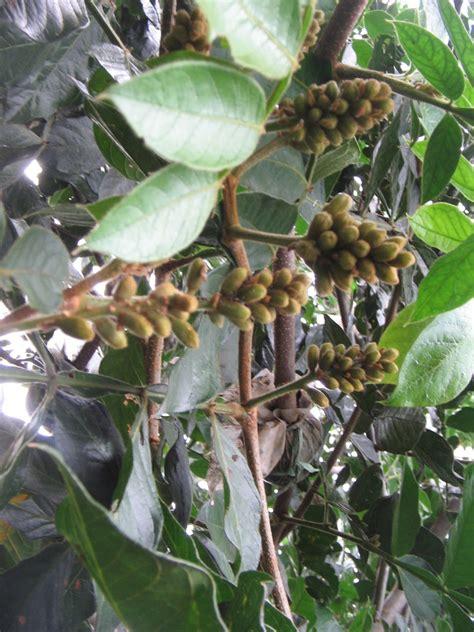 Bibit Buah Naga Kuning Jumbo bibit buah bunton malang macam macam buah buahan lainnya