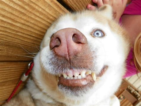 why do dogs smile smiling teeth www pixshark images galleries with a bite