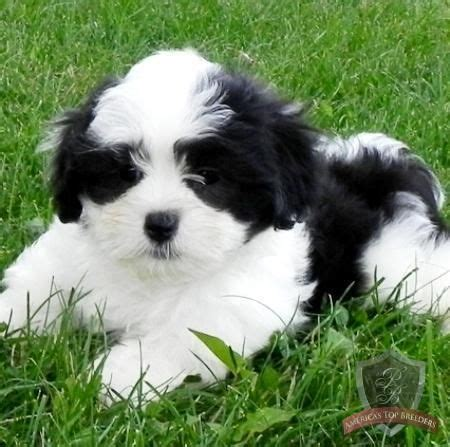 puppyspot havanese 17 best images about malshi on keep calm puppys and i want