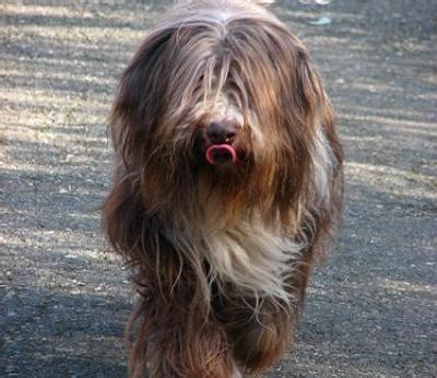 bearded collie dogs bearded collie dog breed info pictures petmd