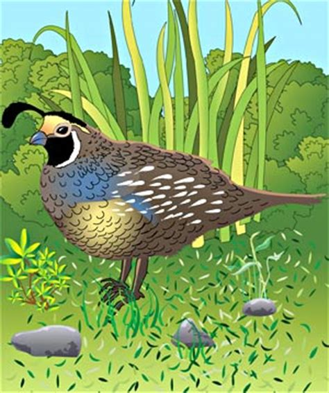 kids pages quails