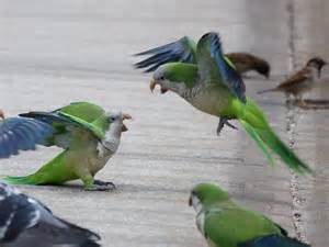 why exactly do monk parakeets fight brooklynparrots com