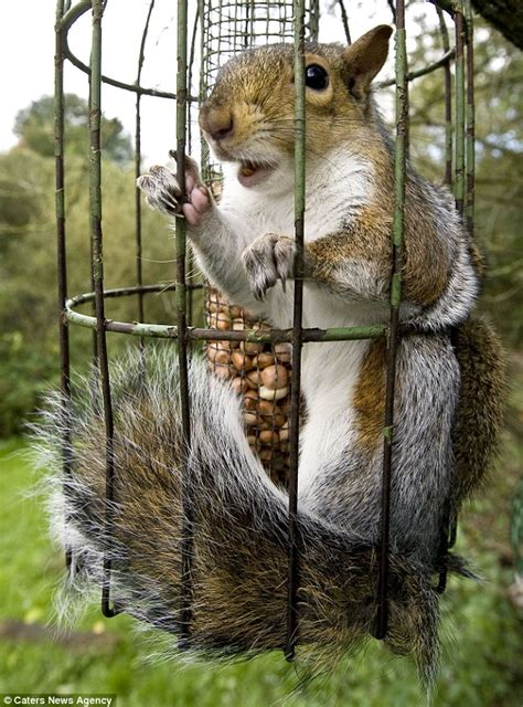 caught behind bars sneaky squirrel gets trapped in a bird