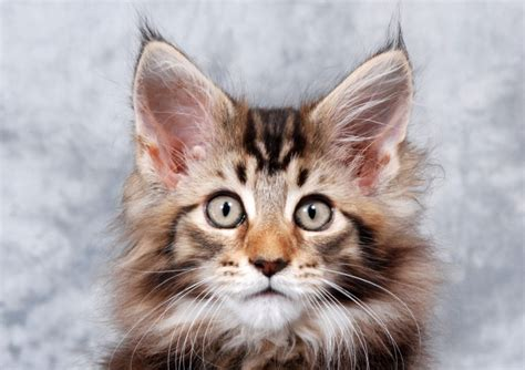 Cat Breeds with Cute Tufted Ears   Pets4Homes