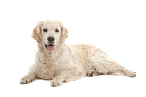 golden retrievers temperament golden retriever golden retriever pet insurance info