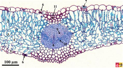 cross section of lilac leaf mesomorph