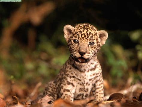 jaguar and cheetah leopards cheetahs and jaguars photos ii
