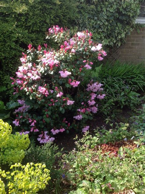 Patio Rhododendron by 10 Best Rhododendron Shade Tolerant Images On