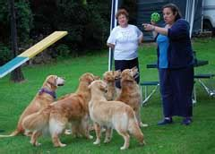 golden retriever rescue of central florida golden retriever rescue of central new york picture breeds picture