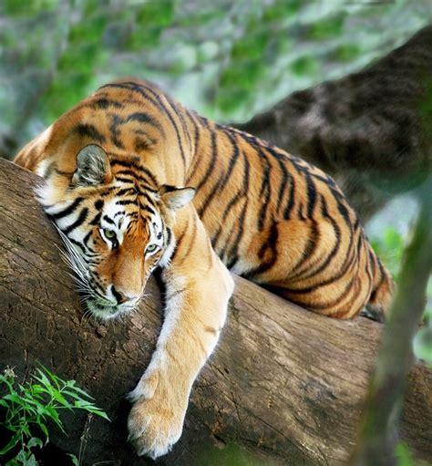 fotos animales tigres tigres de bengala mundogatos com