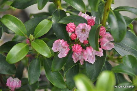 kalmia latifolia kalmia latifolia little linda the site gardener