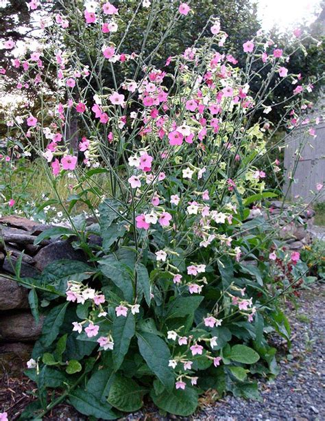 flowering tobacco nicotiana mutabilis marshmallow
