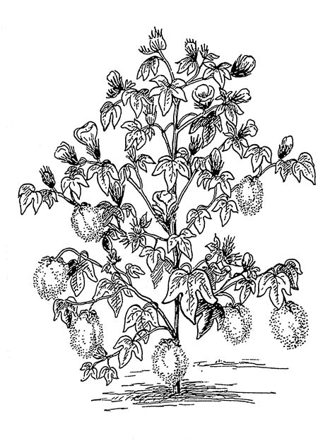 file cotton plant psf png wikimedia commons