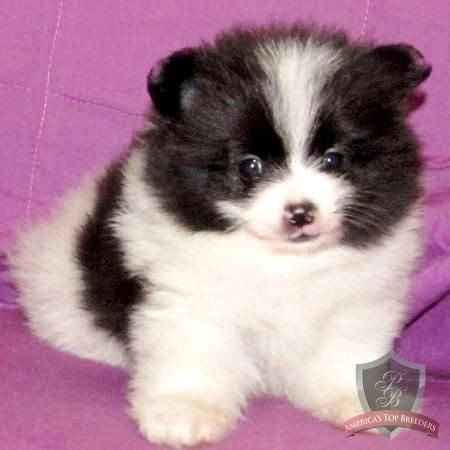 panda looking pomeranian for sale pomeranian puppy she looks like a panda anthropology animals