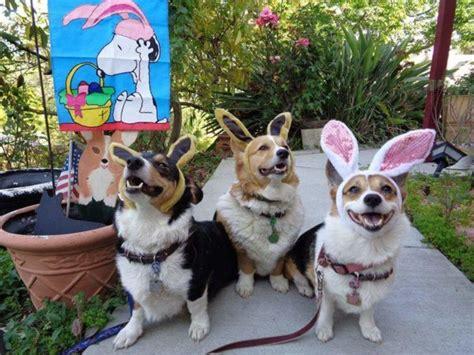 tuesday mischiefmakers 16 corgis and tuesday mischiefmakers 16 corgis and one bunny the