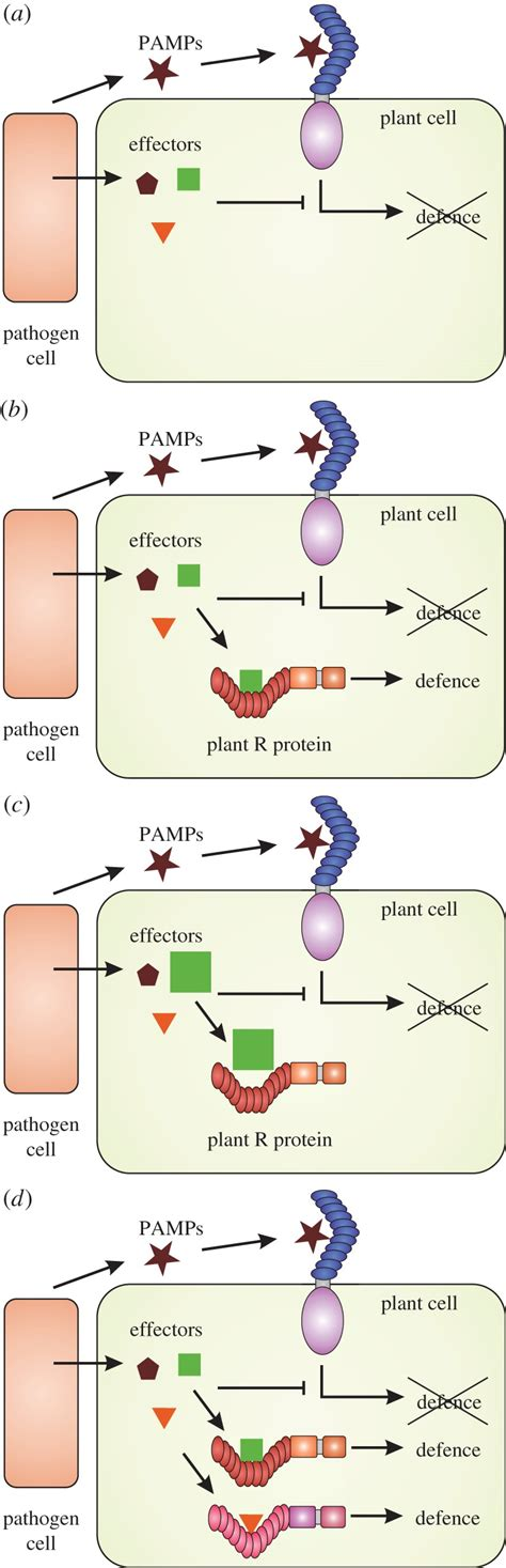 Pattern Recognition Receptors And Signaling In Plant Microbe Interactions   a simplified model of the role of plant r genes in plant