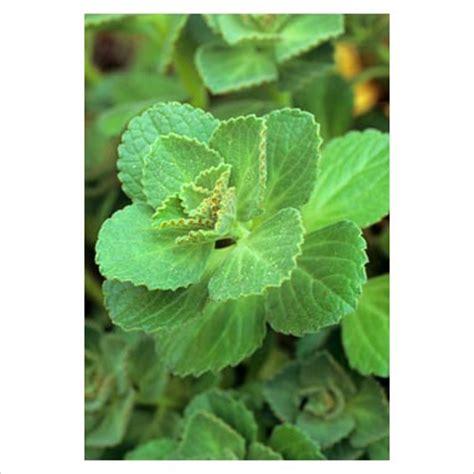 gap  garden plant picture library plectranthus
